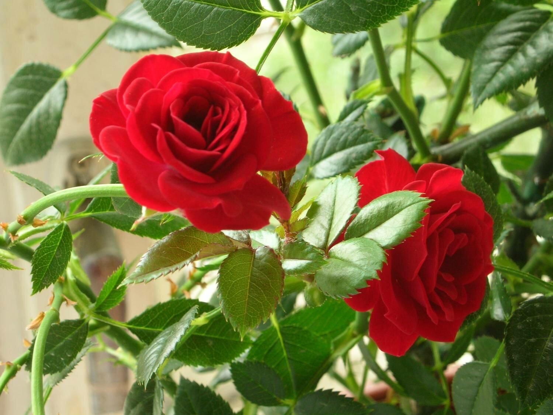 Розы их хорошо разводить и дома и на