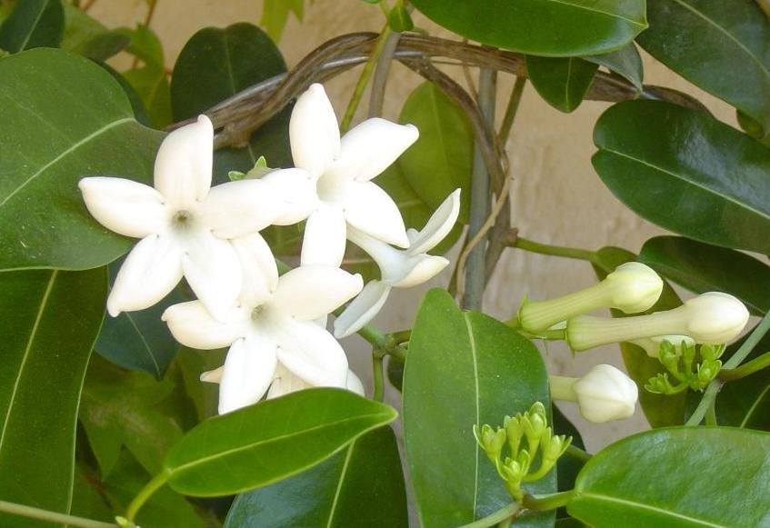 Вьющийся цветок с белыми цветами комнатный